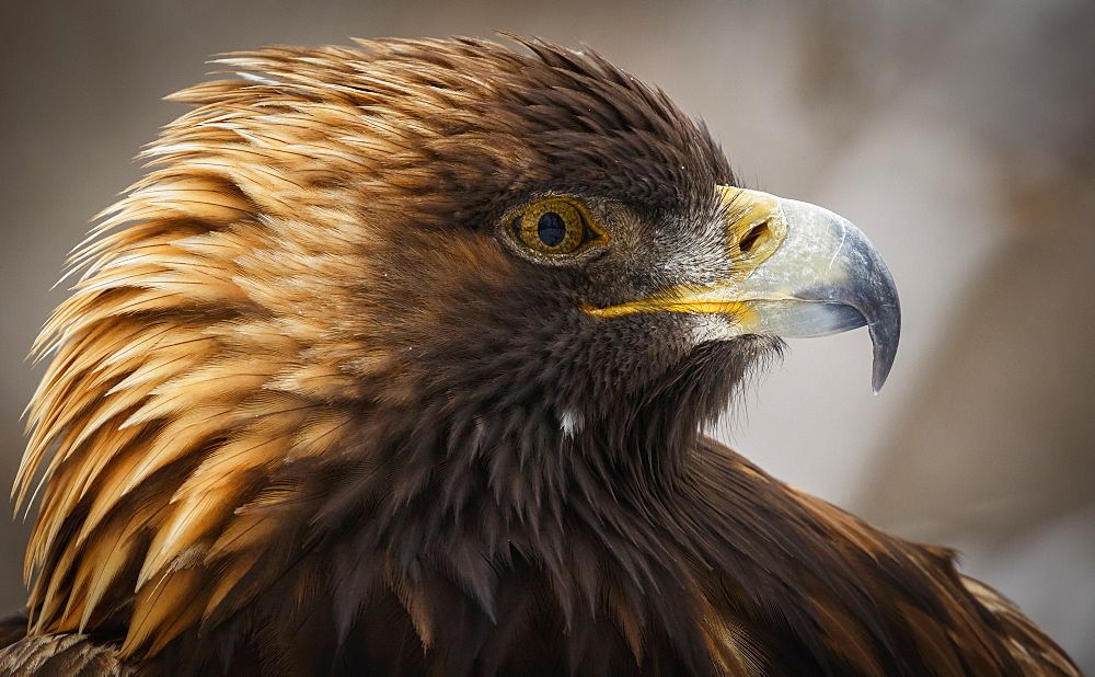 Golden Eagle (Aquila Chrysaetos) Portrait, Montreal, Quebec, Canada
