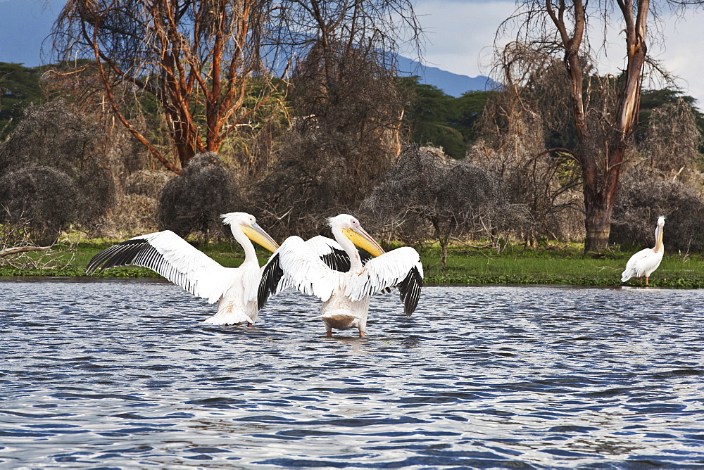 Pelicans Flap Their Wings On Lake Naivasha, Naivasha, Kenya