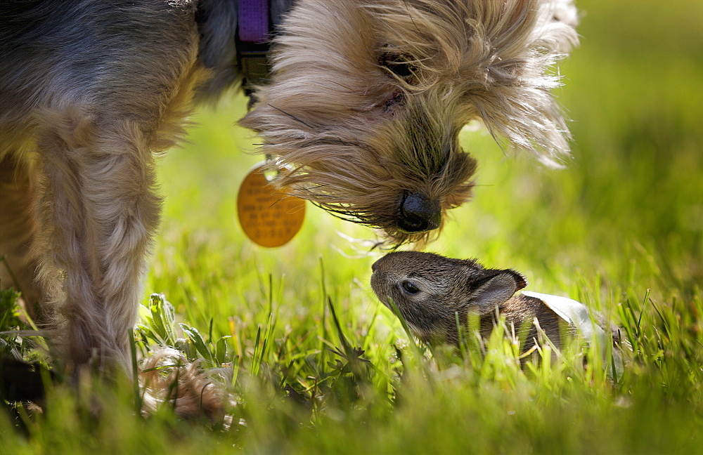 A Cute Yorkie Dog Sniffing A Little Baby Bunny Rabbit Nestled In The Grass, Kentucky, United States Of America