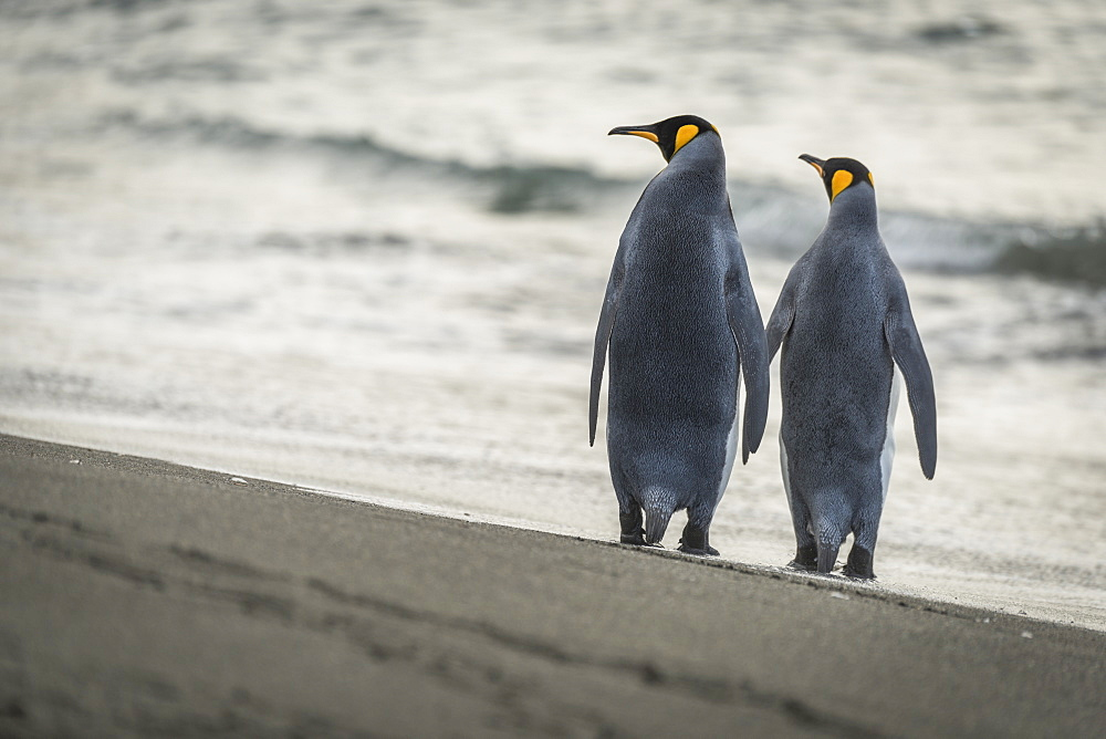 Two King Penguins (Aptenodytes Patagonicus) Are Walking Along A Sandy Beach By The Edge Of The Water, Antarctica