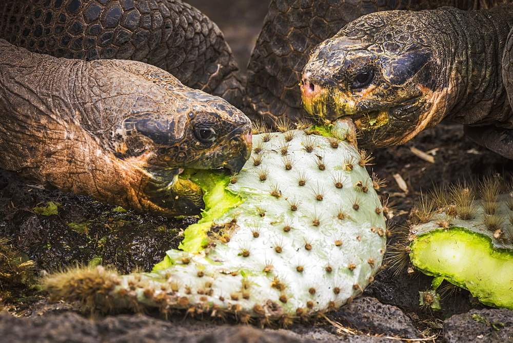 Two Galapagos Giant Tortoises (Geochelone) Biting Cactus Leaves, Galapagos Islands, Ecuador