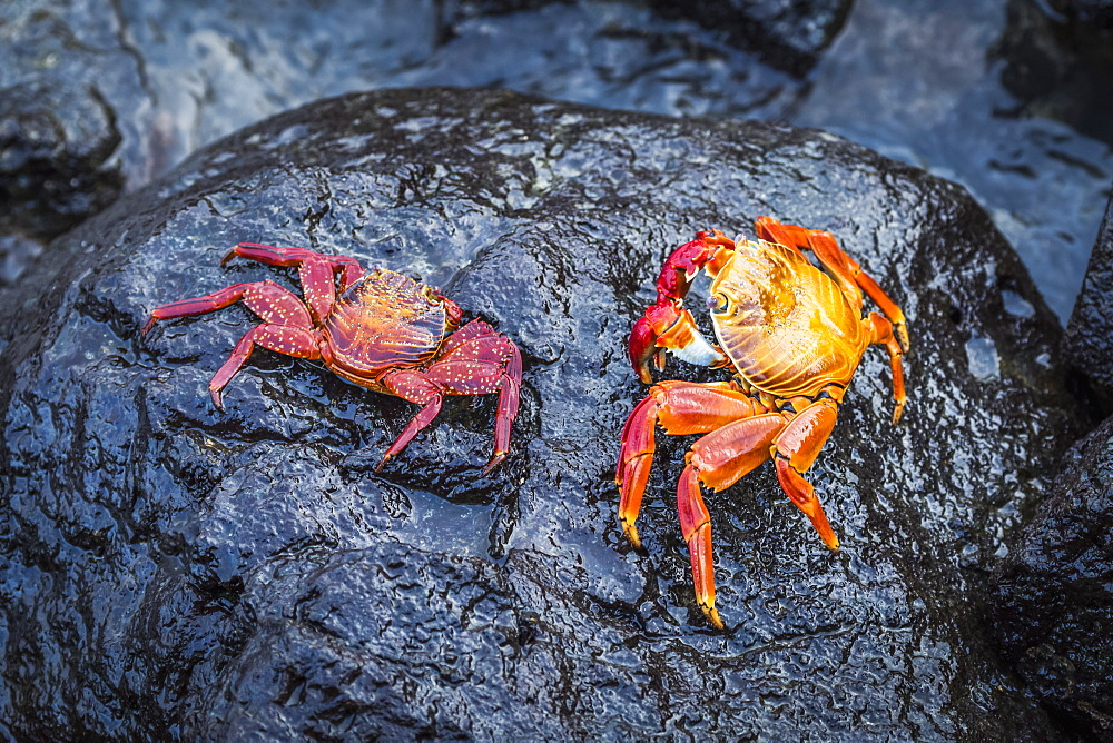 Two Sally Lightfoot Crabs (Grapsus Grapsus) On Black Rock, Galapagos Island, Ecuador
