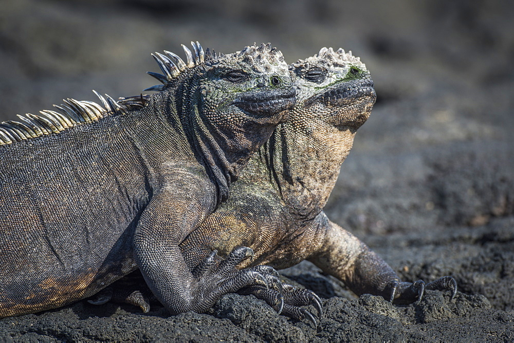 Two Marine Iguanas (Amblyrhynchus Cristatus) Sunbathing On Volcanic Rock, Galapagos Islands, Ecuador