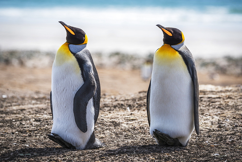 Two King Penguins (Aptenodytes Patagonicus) With Matching Beak Positions, Antarctica