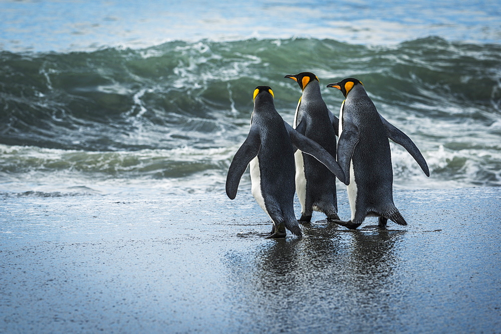 Three King Penguins (Aptenodytes Patagonicus) Walking On Sandy Beach, Antarctica