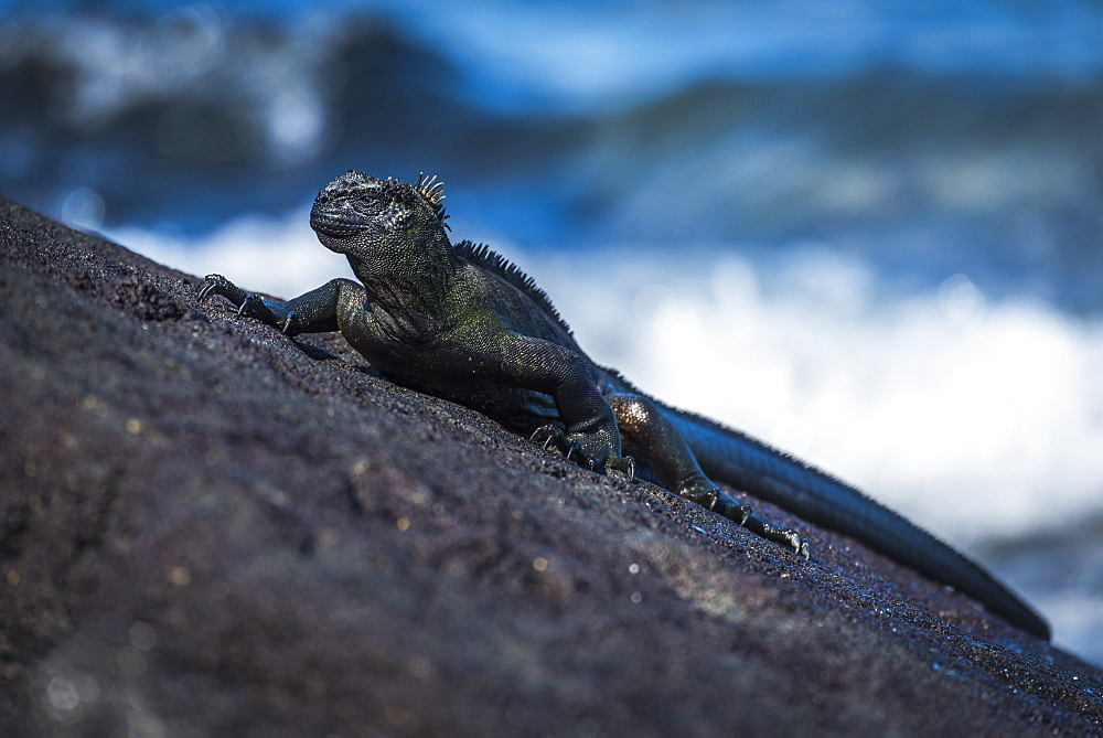 Marine Iguana (Amblyrhynchus Cristatus) On Sloping Rock Beside Sea, Galapagos Islands, Ecuador