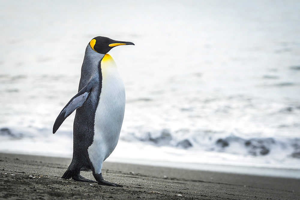 King Penguin (Aptenodytes Patagonicus) Walking On Beach Beside Water, Antarctica