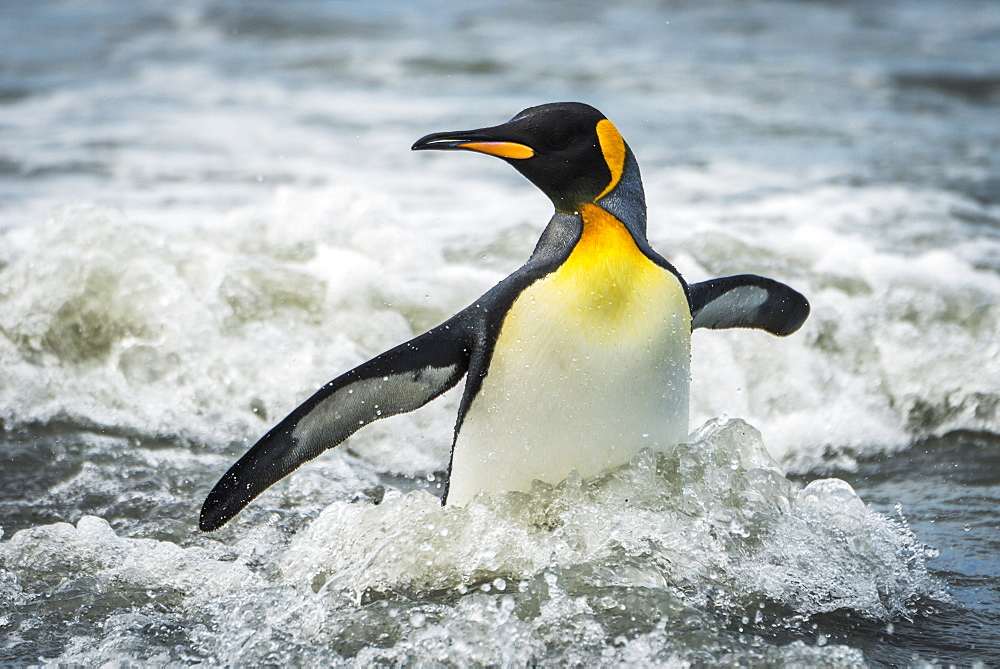 King Penguin (Aptenodytes Patagonicus) Wading Through Surf Towards Beach, Antarctica
