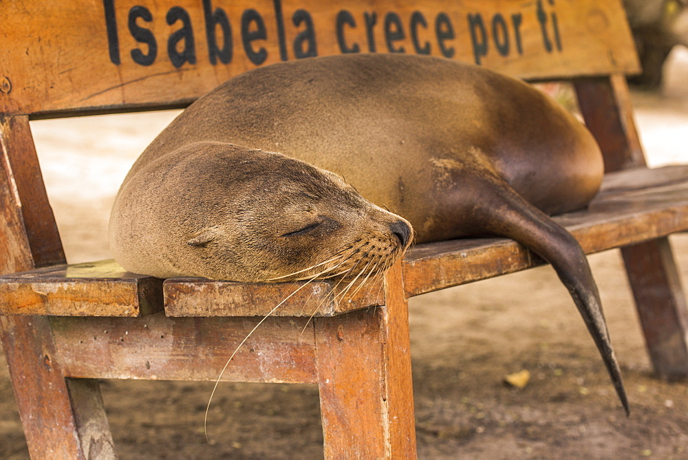 Galapagos Sea Lion (Zalophus Wollebaeki) Asleep On Wooden Bench, Galapagos Islands, Ecuador