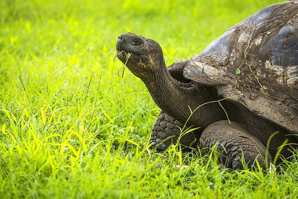 Galapagos Giant Tortoise (Chelonoidis Nigra) Chewing Grass In Field, Galapagos Island, Ecuador