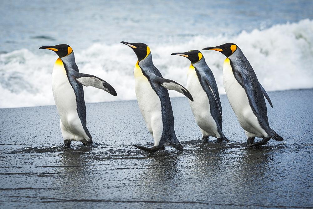 Four King Penguins (Aptenodytes Patagonicus) Walking Together On Beach, Antarctica