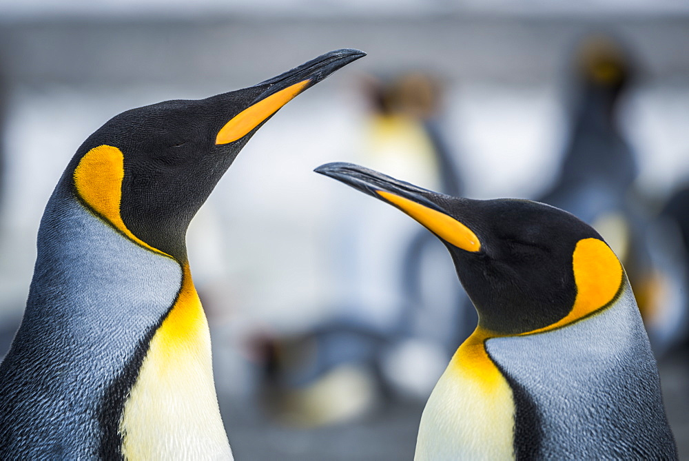 Close Up Of Two King Penguins (Aptenodytes Patagonicus), Antarctic
