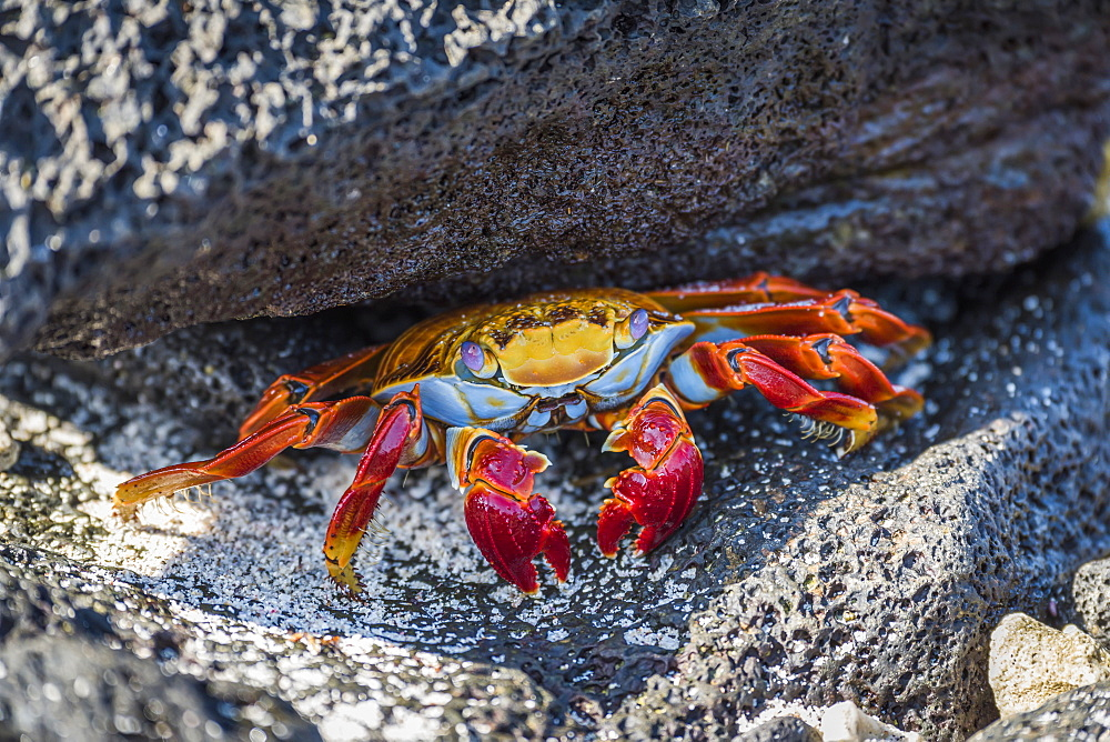 Adult Sally Lightfoot Crab (Grapsus Grapsus) Under Grey Rock, Galapagos Islands, Ecuador