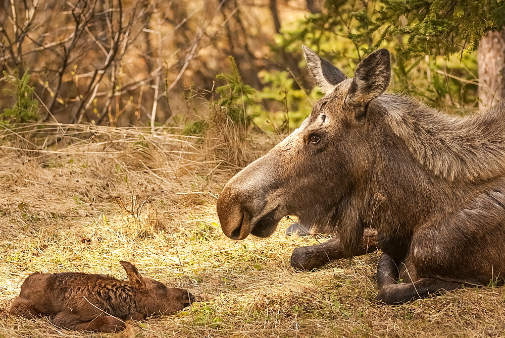 Moose Cow With Newborn Calf (Alces Alces), Alaska, United States Of America