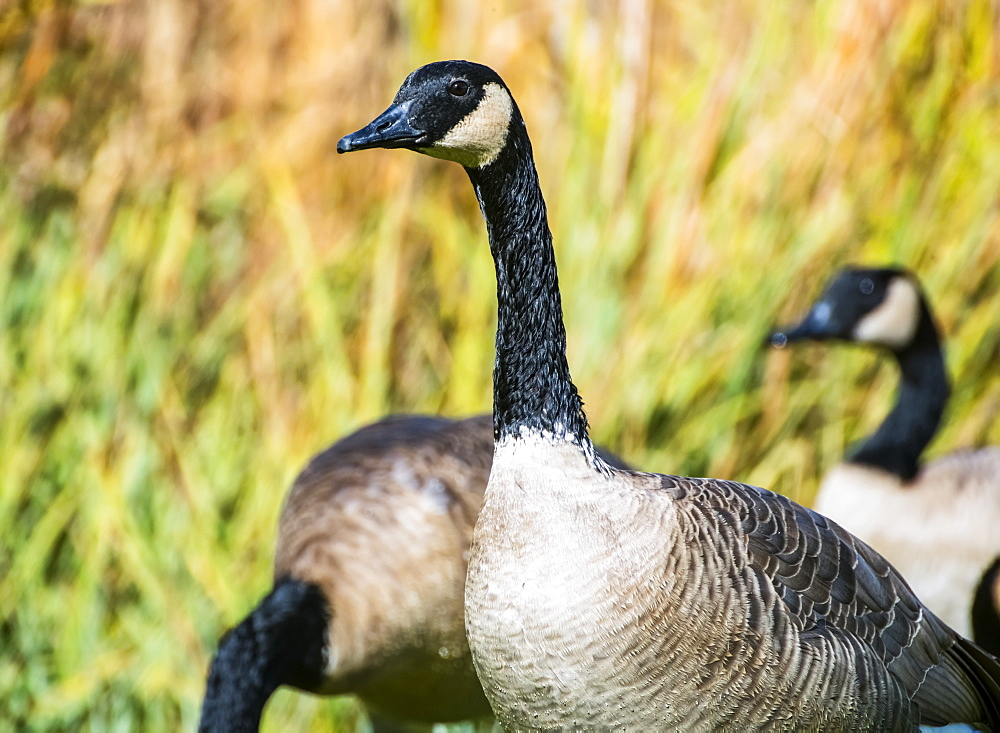 Canadian Geese (Branta Canadensis) Migrate Across The Greatland In Autumn, United States Of America