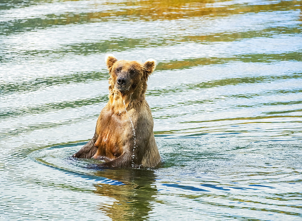 Brown Bear (Ursus Arctos) Sow Fishes For Salmon In Deeper Water, Katmai National Park, Alaska, United States Of America