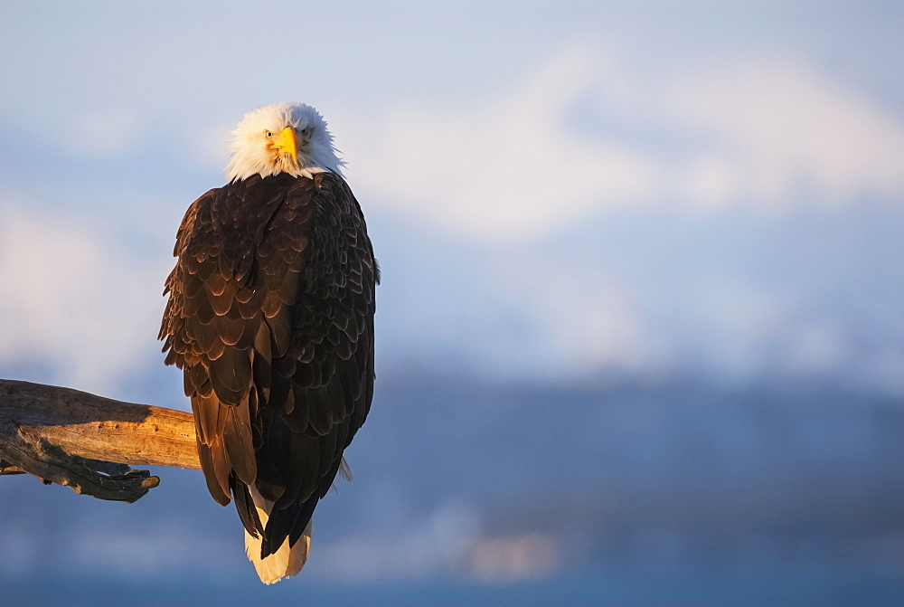 Bald Eagle (Haliaeetus Leucocephalus) Perched On The End Of A Branch, Alaska, United States Of America