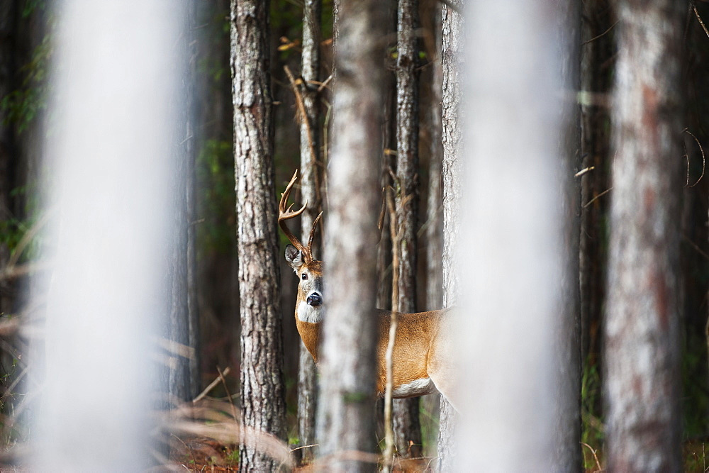 Whitetail (Odocoileus Virginianus) Buck In Thick Pines, Reddick, Florid, United States Of America