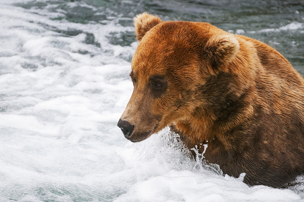 Brown Bear Adult Fishes For Salmon By Getting His Face Close To The White Water And Simply Snapping Up Salmon That Get Too Close, Brooks River, Katmai National Park, Southwest Alaska