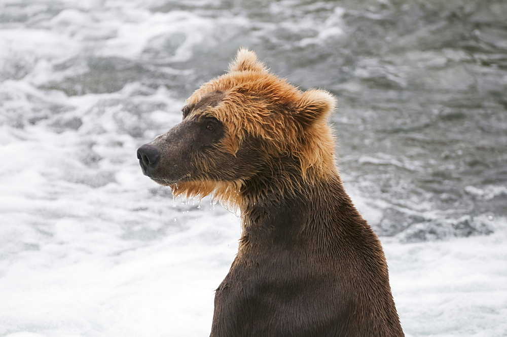 A Young Brown Bear Surveys The Salmon Fishing Competition, Brooks Falls, Katmai National Park, Southwest Alaska
