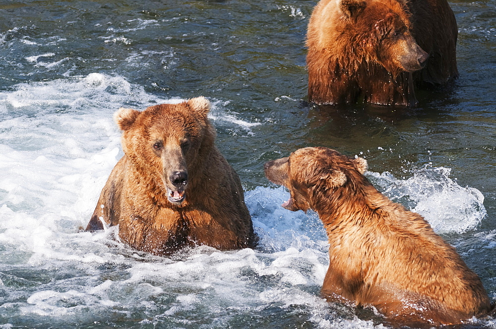 Brown Bears Face Off At Brooks Falls, Katmai National Park, Southwest Alaska