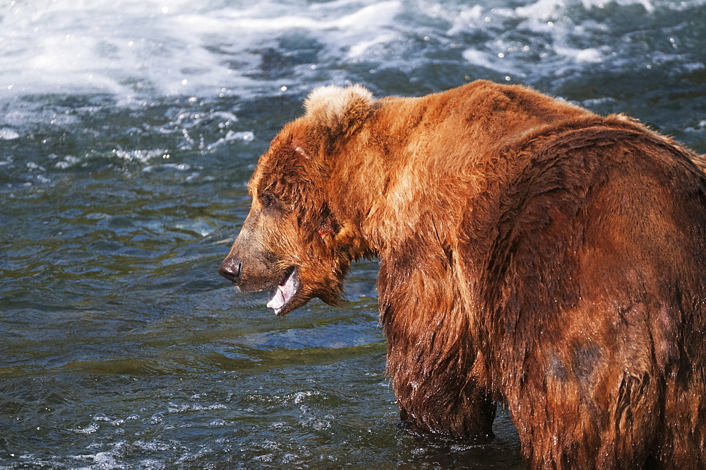 Brown Bear In Defensive Posture While In Brooks River, Katmai National Park, Southwest Alaska