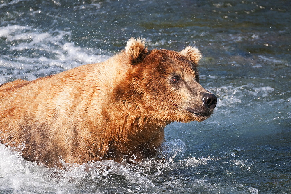 An Alert Brown Bear Adult Fishes For Salmon In Brooks River, Katmai National Park, Southwest Alaska