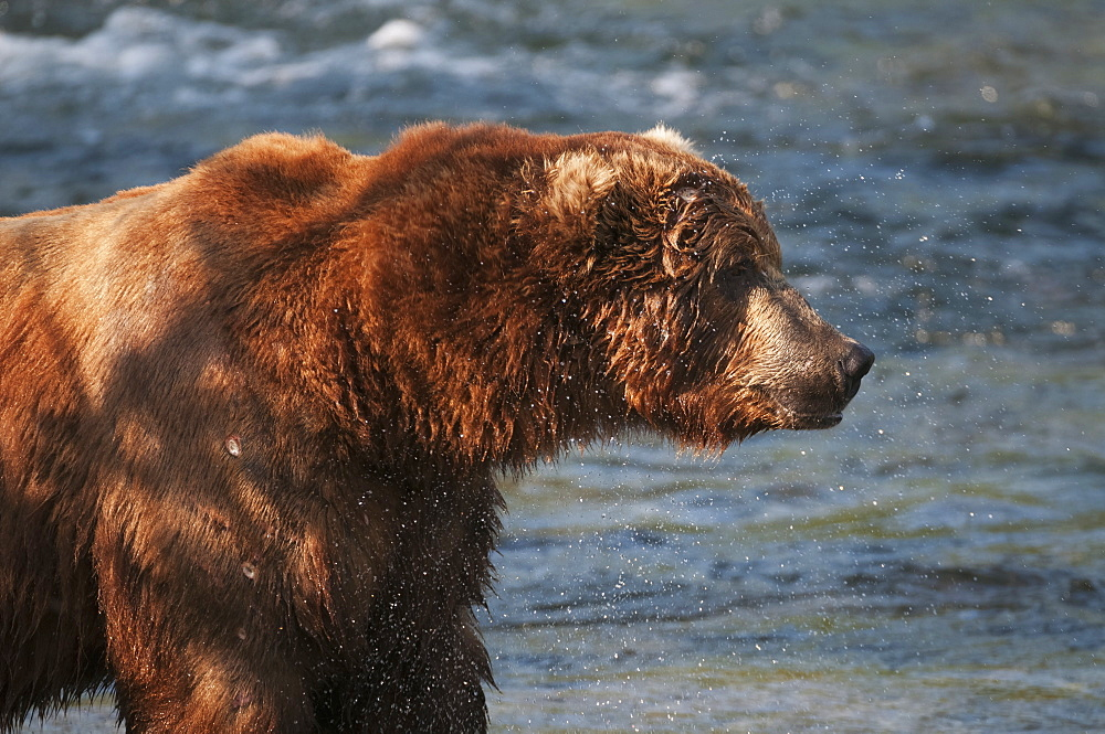 Profile Of A Large, Dominant Brown Bear Standing Along Brooks River, Katmai National Park, Southwest Alaska
