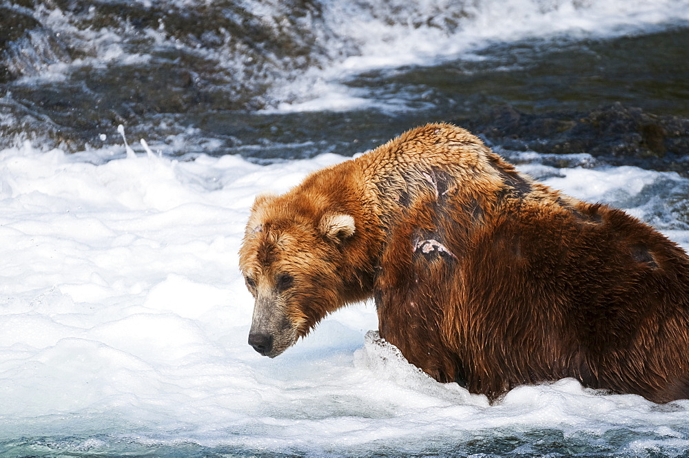 Brown Bear, Scarred From Years Of Fighting, Fishing In Brooks River, Katmai National Park, Southwest Alaska