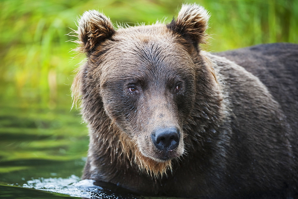 Close Up Of A Brown Bear Wading In Brooks River, Katmai National Park, Southwest Alaska