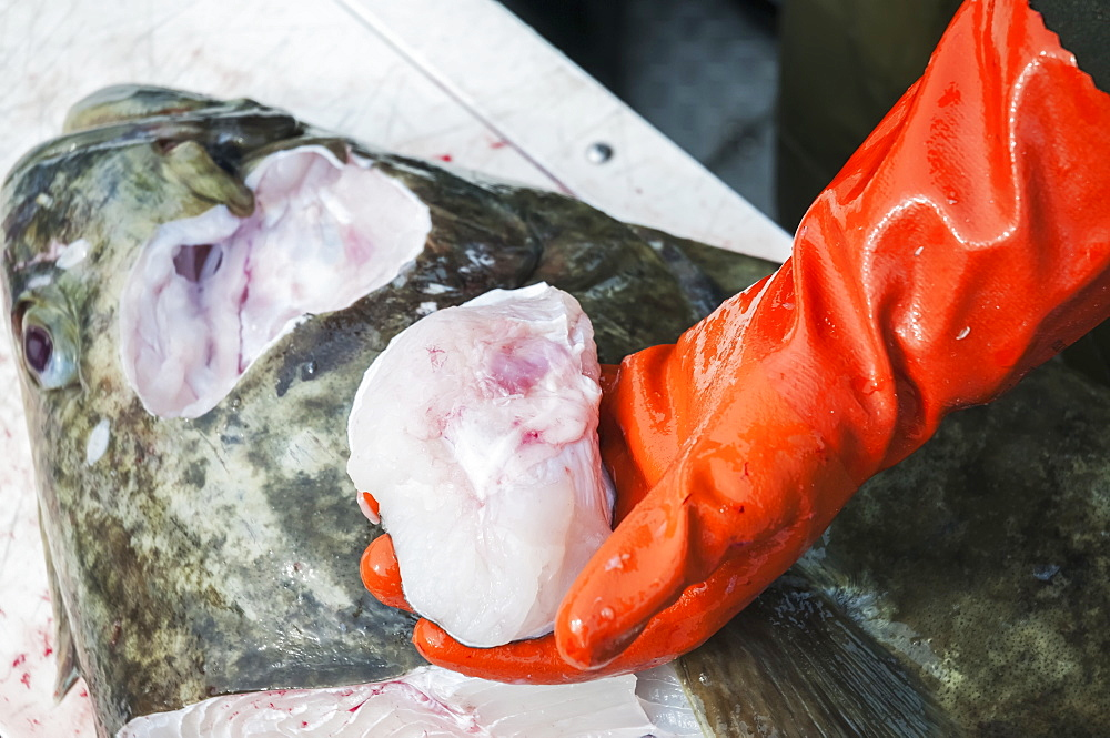 Fisherman Harvests Halibut Cheeks Which Are Considered A Delicacy, Alaska