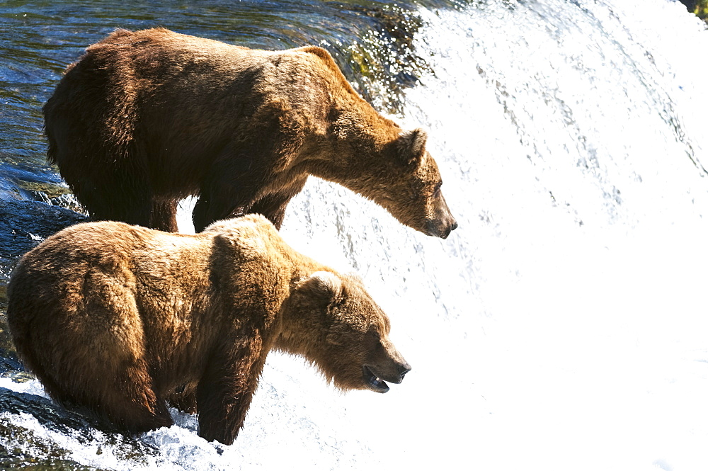 Two Brown Bears Fish At Brooks Falls, Katmai National Park, Southwest Alaska