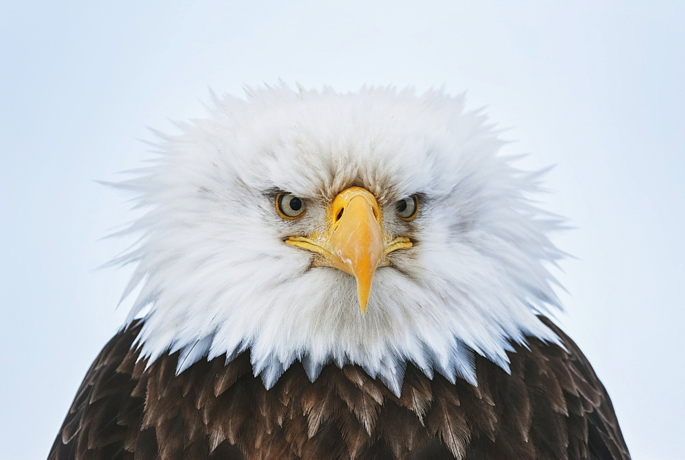 Portrait Of A Bald Eagle Puffed Up At 25 Degrees Below Zero, Homer, Kenai Peninsula, Southcentral Alaska