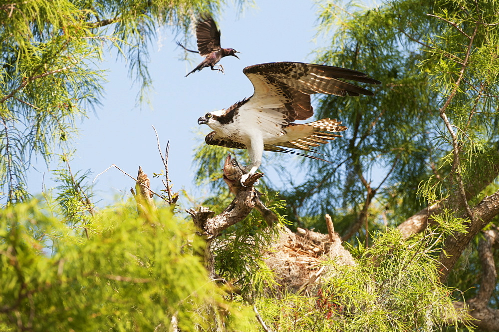 Osprey (Pandion Haliaetus) With Largemouth Bass Harrassed By Grackle, Sebring, Florida, United States Of America
