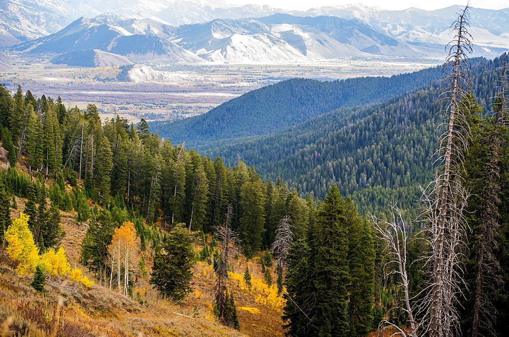 Landscape Of Pine Forests Over Mountains And A Rocky Mountain Range In The Distance, The View Coming Into Jackson Hole, Wyoming, United States Of America