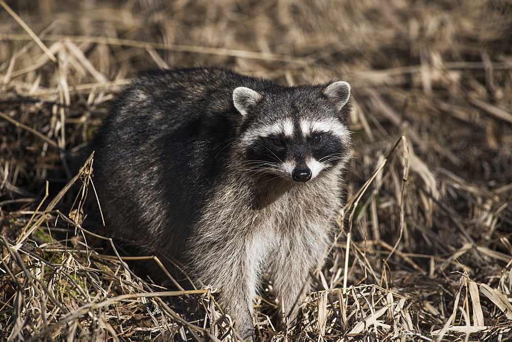 A Raccoon (Procyon Lotor) Prowls In The Brush, Ridgefield, Washington, United States Of America