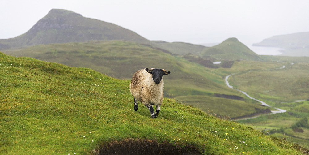 A Sheep Walking Across The Grass With Fog Covering The Landscape, Trotternish Ridge, Staffin, Scotland