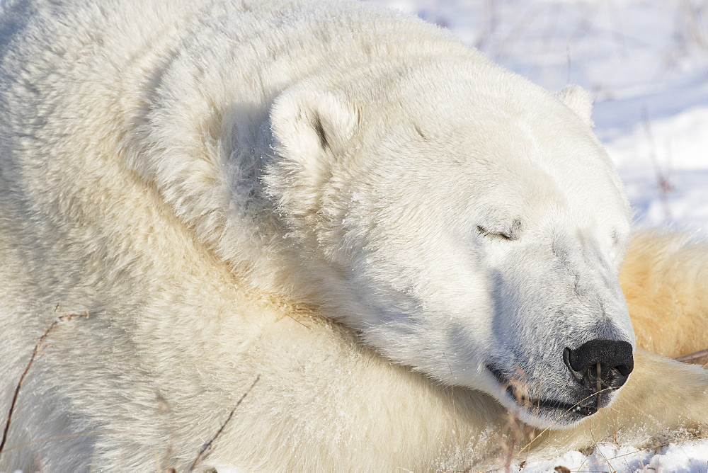 Polar Bear (Ursus Maritimus) Sleeping, Churchill, Manitoba, Canada