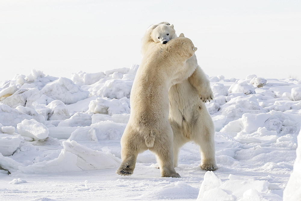 Polar Bears (Ursus Maritimus) Sparring On The Coast Of Hudson Bay, Churchill, Manitoba, Canada