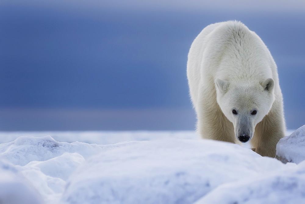 Polar Bear (Ursus Maritimus), Churchill, Manitoba, Canada