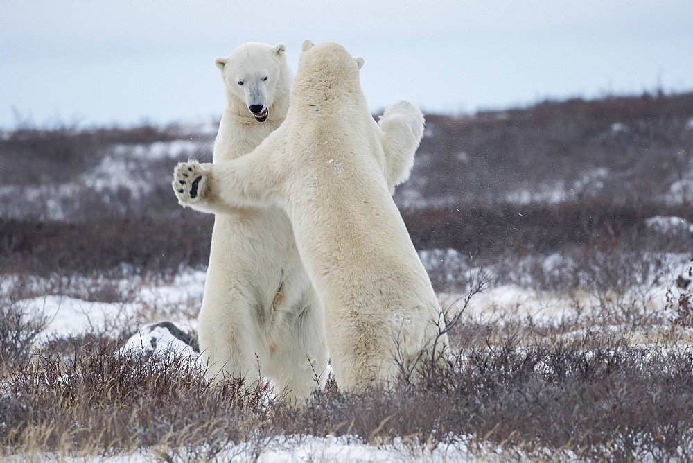 Polar Bears (Ursus Maritimus) Sparring On The Coast Of Hudson Bay, Manitoba, Canada