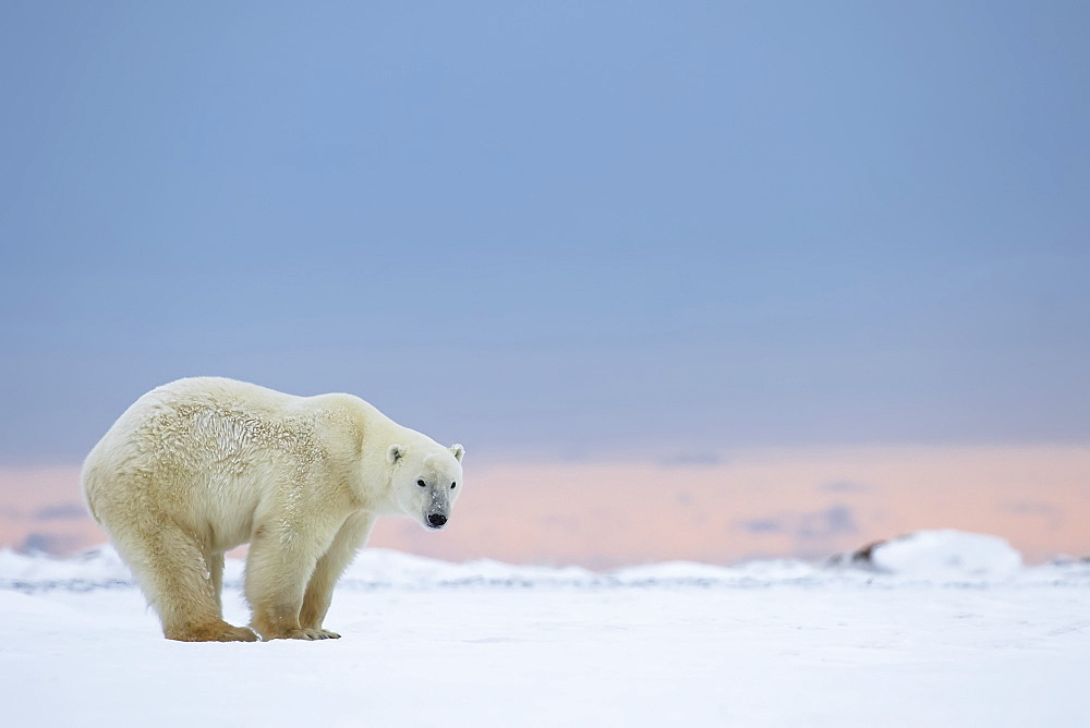 Polar Bear (Ursus Maritimus) Standing On The Snow At Sunrise, Churchill, Manitoba, Canada