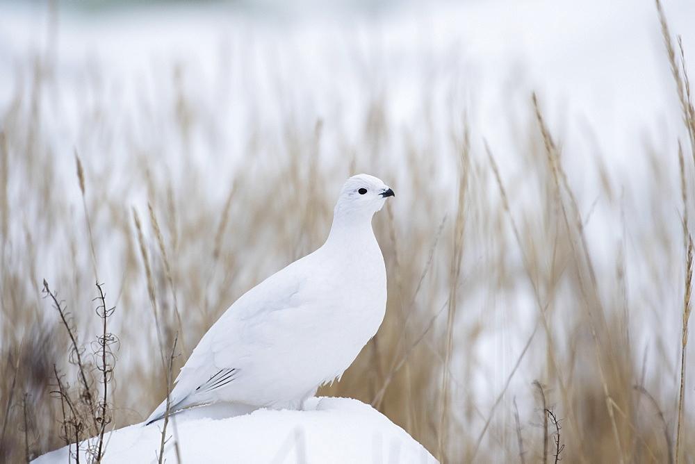 Ptarmigan (Lagopus), Churchill, Manitoba, Canada