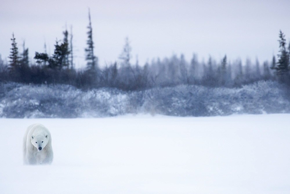 Polar Bear (Ursus Maritimus) Walking In A Blizzard, Churchill, Manitoba, Canada