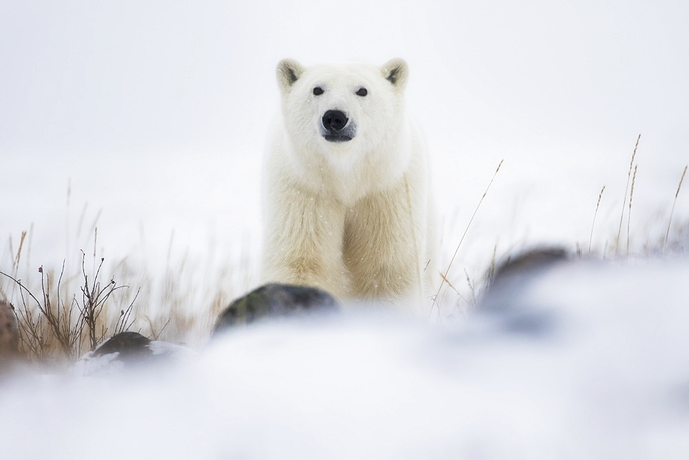 Polar Bear (Ursus Maritimus) In A Blizzard, Churchill, Manitoba, Canada