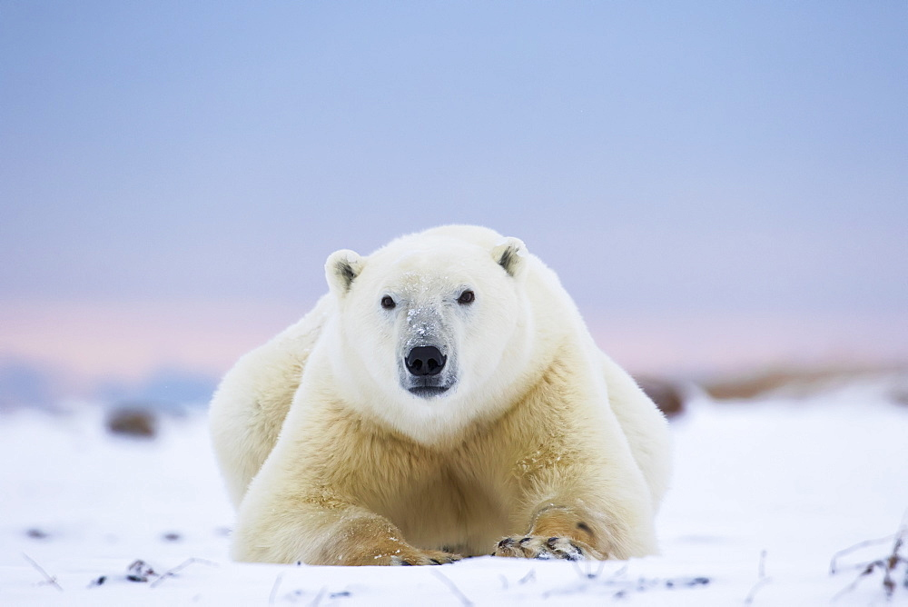 Polar Bear (Ursus Maritimus) Along The Hudson Bay Coastline Waiting For The Bay To Freeze Over, Churchill, Manitoba, Canada