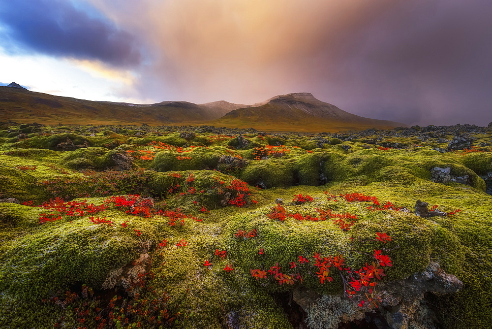 Moss Covered Lava Field At Sunrise, Snaefellsness Peninsula, Iceland