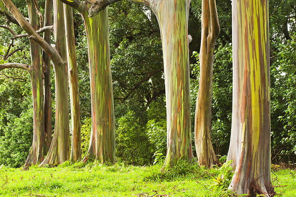 Eucalyptus Tree Grove On The Northeast Side Of Maui, Maui, Hawaii, United States Of America