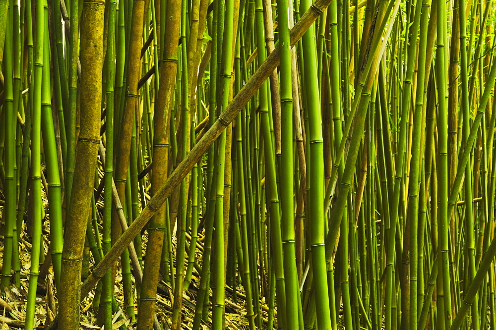Bamboo Grove In Haleakala National Park, Maui, Hawaii, United States Of America