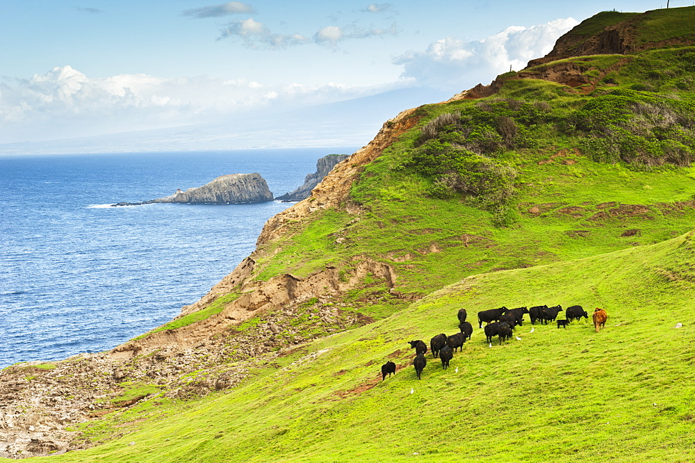 A Herd Of Cattle Graze Along The Northwestern Coast Of Maui, Maui, Hawaii, United States Of America